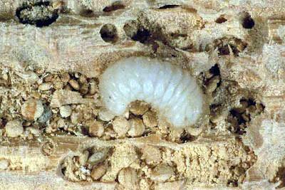 larve-grosse-vrillette